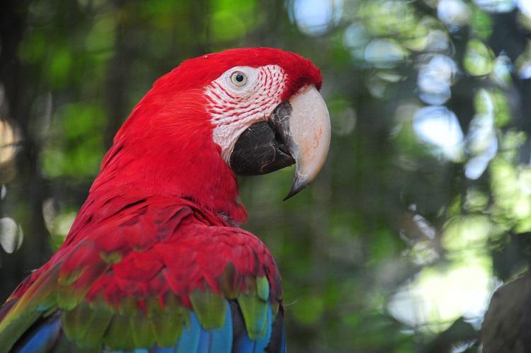 Arara- Vermelha  - Parque das Aves - O que fazer em Foz do Iguaçu?